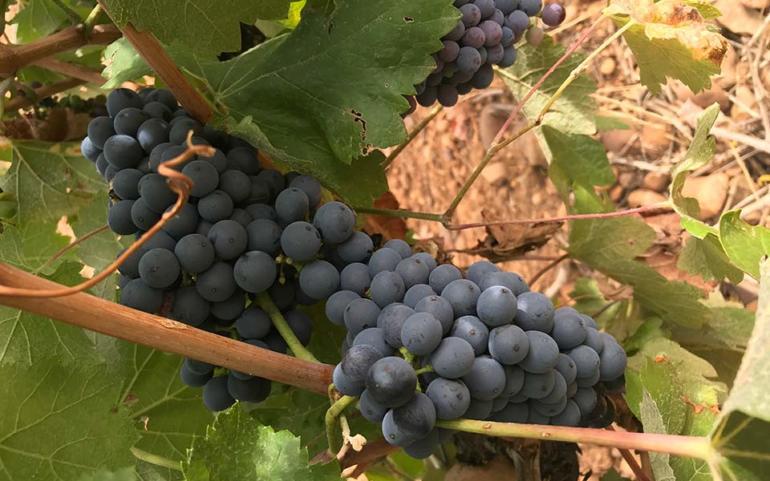 La prieto picudo, la variedad reina de la viticultura leonesa.